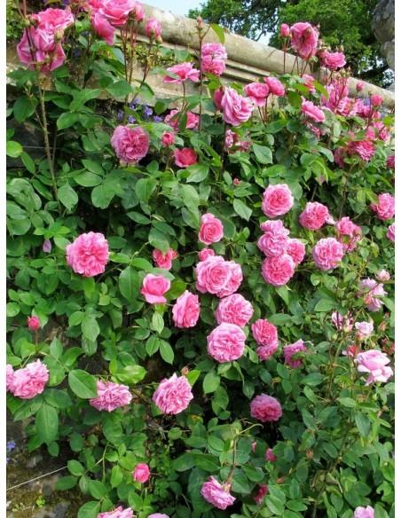 róże angielskie AUSbord