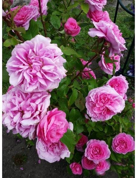 AUSbord róże angielskie