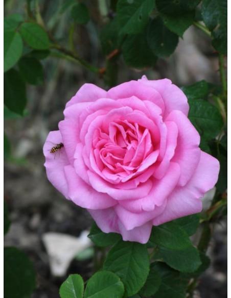 AUSbord angielskie róże