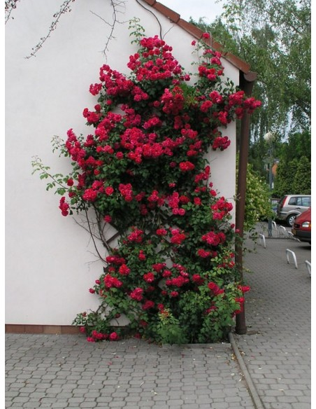 Pauls Scarlet Climber pnące róże