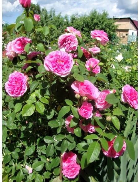 angielskie róże AUSbord
