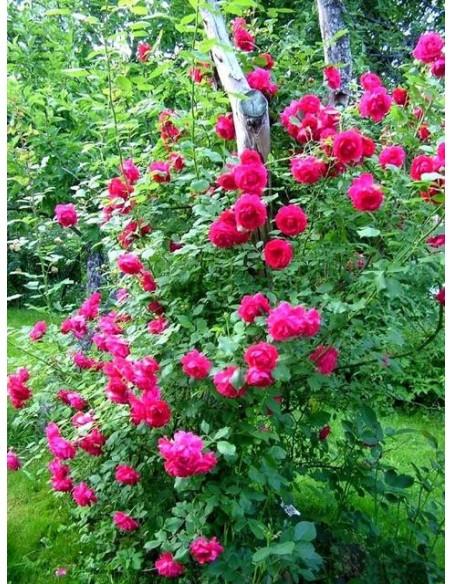 Paul's Scarlet Climber róże pnące