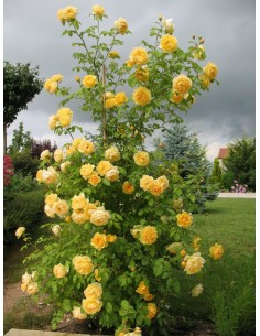 angielskie róże żólte Lemon Parody