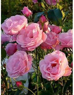Queen Elizabeth różowa róża
