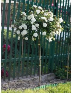 róża pienna kaskadowa swany