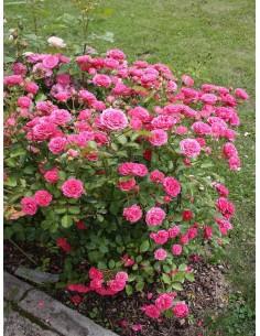Elmshorn róże parkowe różowe