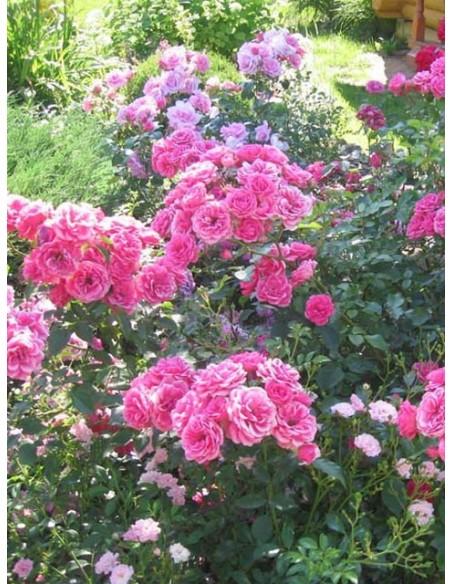 różowe róże parkowe elmshorn