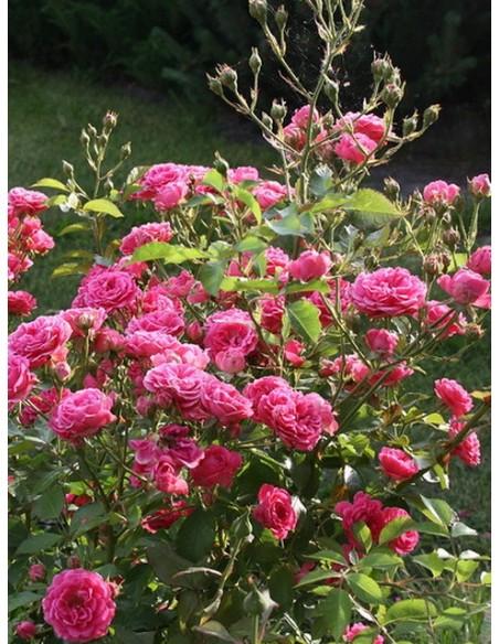 róże różowe elmshorn parkowe