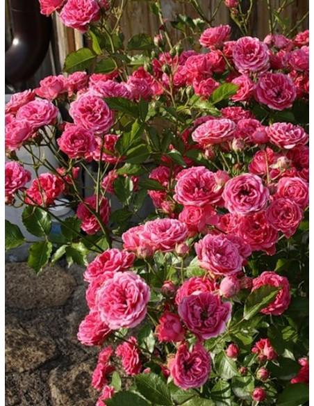 róże różowe parkowe  elmshorn