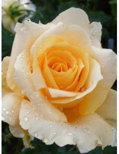 roza wilkokwiatowa casanova