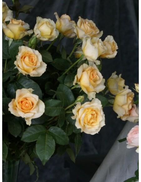 wilkokwiatowe róże casanova