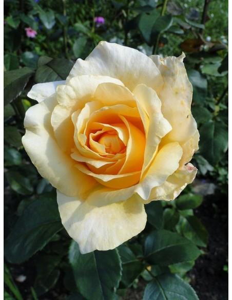 róże wielkokwiatowe casanova