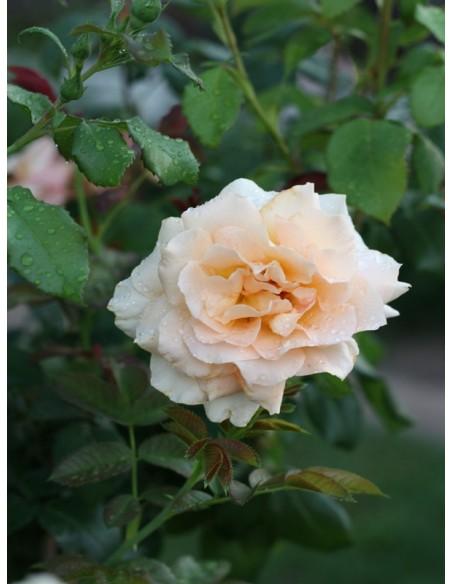 wilelkokwiatowa różą wielkokwiatowa