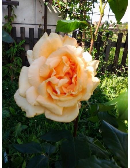 Casanova roże wielkokwiatowe