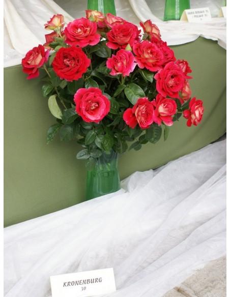 róże wielkokwiatowe kronenburg