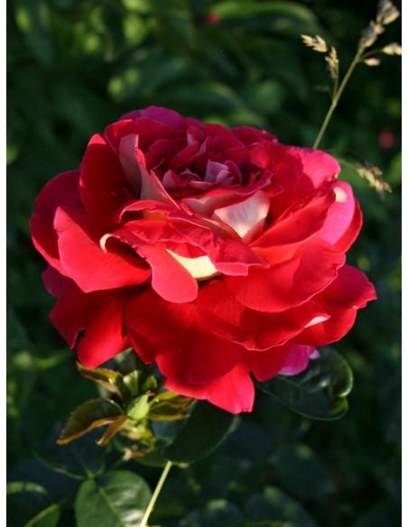 kronenburg roza wilkokwiatowa