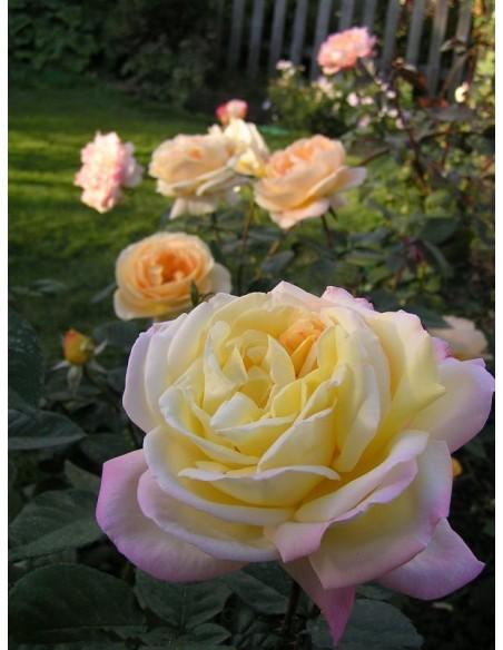 peace róże wielkokwiatowe