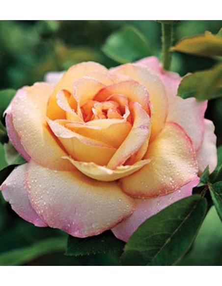 róże wielkokwiatowe peace Gloria Dei