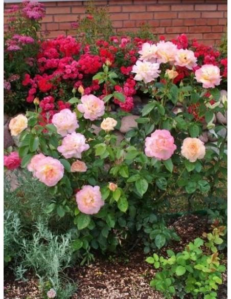 peace róża wielkokwiatowa
