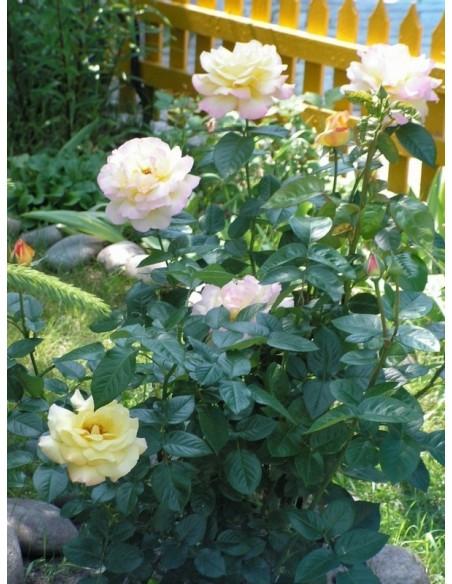 róża wielkokwiatowa peace
