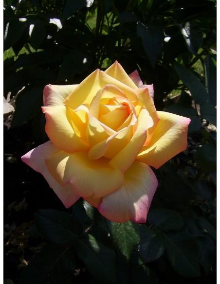 Peace roze wielkokwiatowe