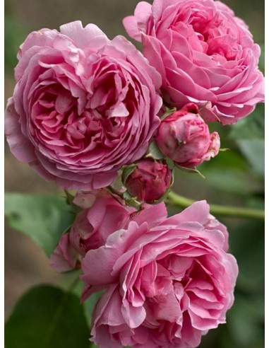 róża burbońska parkowa Louise Odier