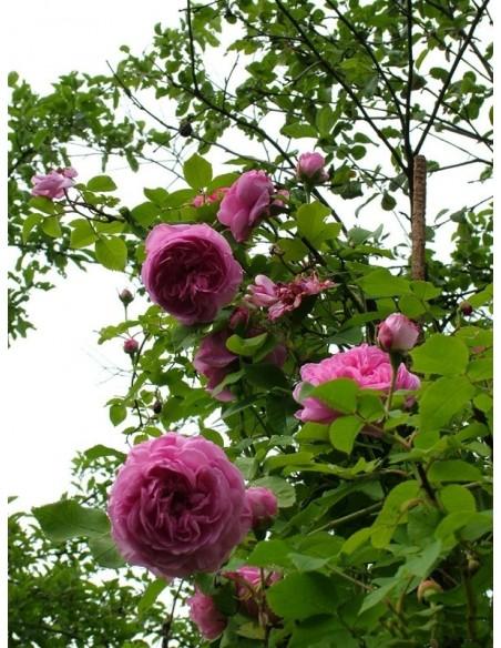 róża parkowa louise odier