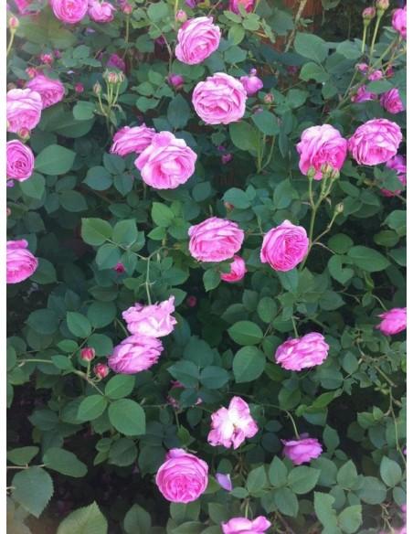 louise odier roze parkowe