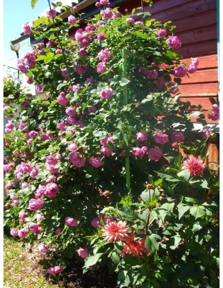 louise odier róże parkowe