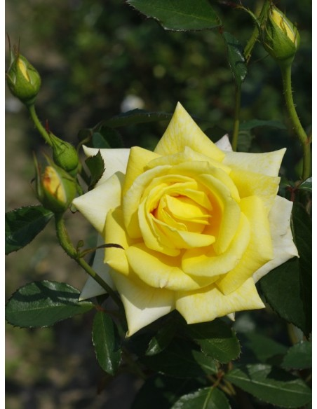 zolte roze rabatowe allgold