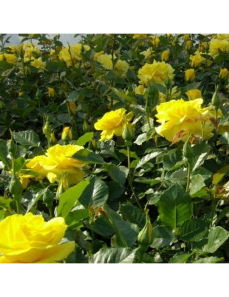 rabatowa żółta róża Allgold