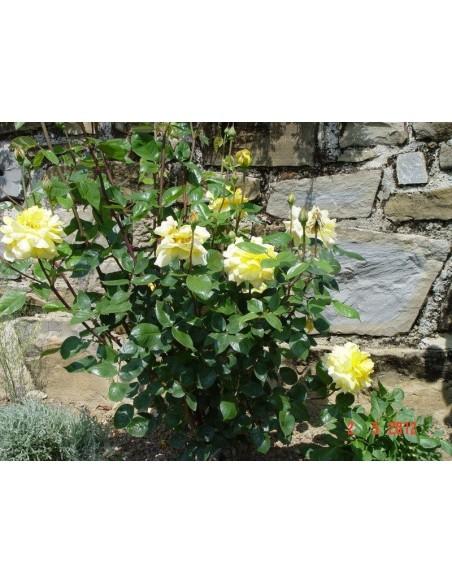 róża żólta rabatowa Allgold