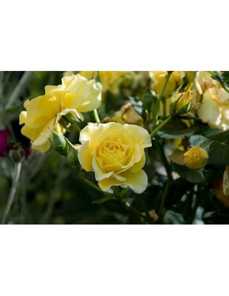 Allgold żółta róża rabatowa