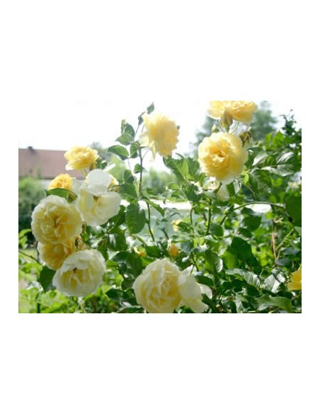żółta rabatowa róża Allgold