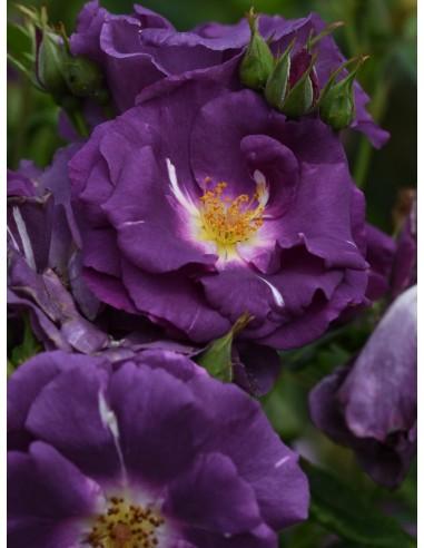 niebieskie róże RHAPSODY IN BLUE