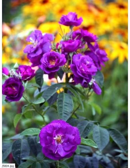 RHAPSODY IN BLUE róże niebieskie