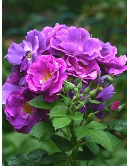 róże niebieskie RHAPSODY IN BLUE