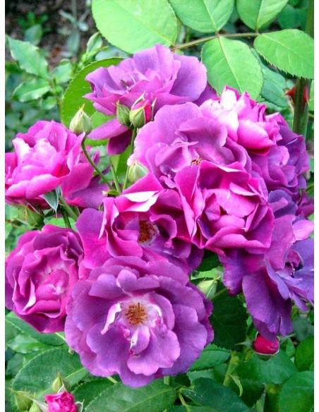 Rhapsody in Blue niebieskie roze