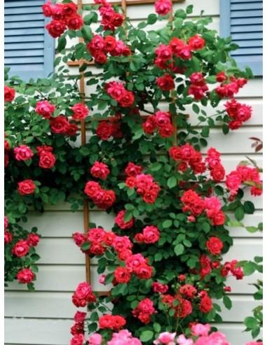 Blaze superior różę pnace czerwone