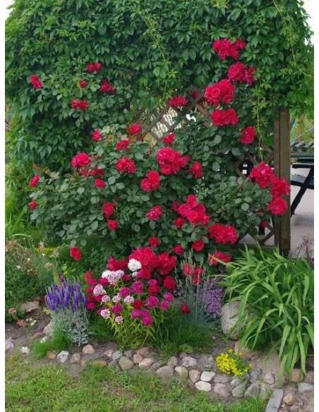 róże pnące czerwone Blaze superior