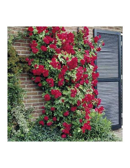 róże  czerwone pnące Blaze superior