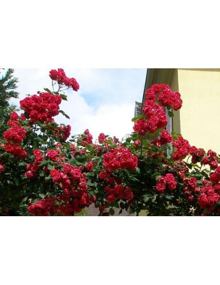 czerwone roze pnace Blaze superior