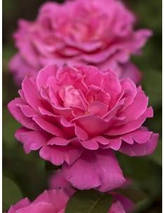 pink peace róże różowe wielkokwiatowe