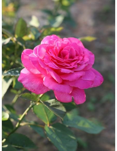różowe róże wielkokwiatowe Pink Peace
