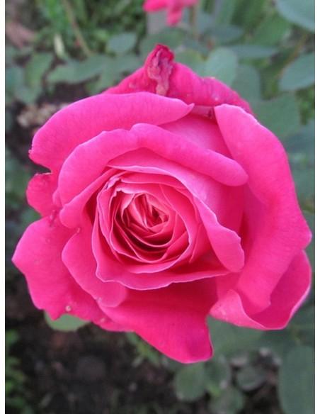 pink peace róże wielkokwiatowe różowe
