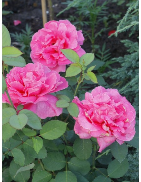 pink peace wielkokwiatowe różowe róże