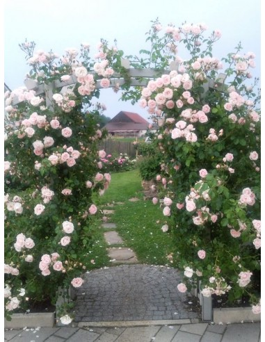 New Dawn róże pnące