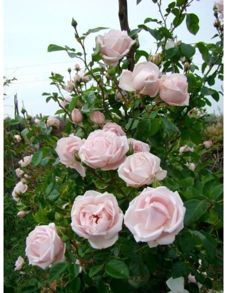 róże pnące new dawn