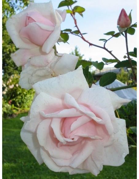 New Dawn pnące róże pnące