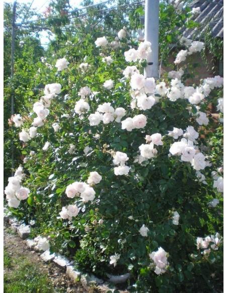 pnące róże New Dawn